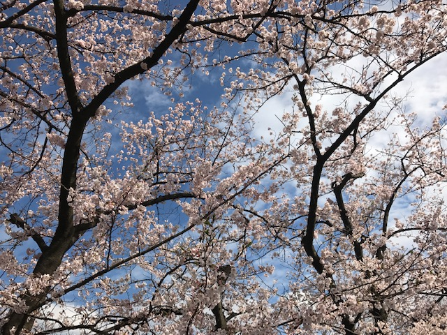 桜満開予定日